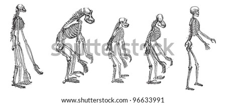 comparison greatest apes skeleton human skeleton stock vector, Skeleton