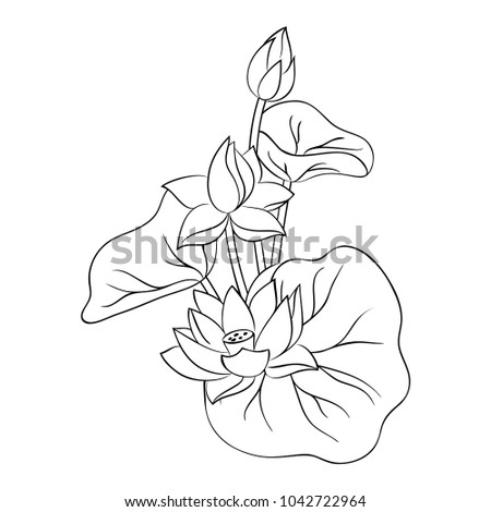 Contour Lotus Lily Flowers Leaves On Stock Vector HD (Royalty Free ...