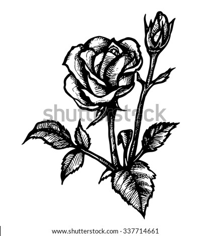 Contour Rose. Vector Hand Drawn Illustration.