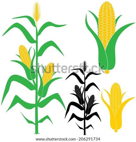 corn stalk isolated corn on white stock vector 206291734 shutterstock rh shutterstock com  corn stalks and pumpkins clip art