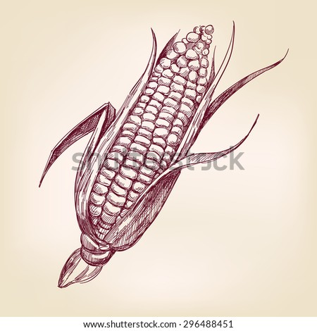 corncob  hand drawn vector illustration realistic sketch - stock vector