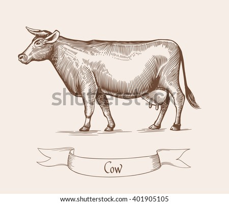 Cow. Cow Vector illustration. Cow illustration in Vintage engraving style. Cow grunge label. Sticker image depicting Cow. Isolated. Eps10 illustration. - stock vector