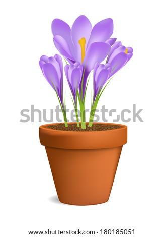 Crocuses in Flowerpot Vector Illustration Isolated on White - stock vector