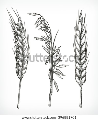 Crops, wheat and oat sketches, hand drawing, vector set - stock vector