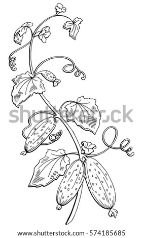 Cucumber graphic bush black white isolated sketch illustration vector