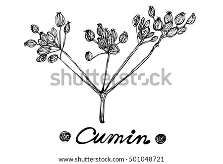 Cumin vector hand drawn illustration. Isolated spice object. Vector illustration for design menus, recipes and packages product.