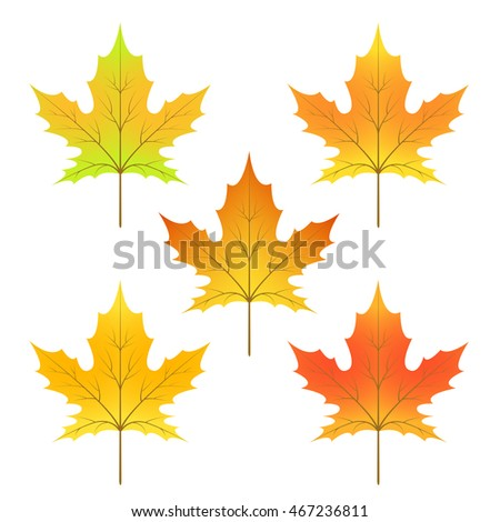 cycle of a maple leaf isolated on white background in vector.