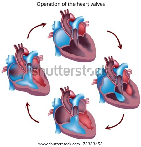 Cycle of heart valves operation