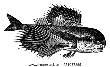 Dactylopterus, vintage engraved illustration. La Vie dans la nature, 1890. - stock vector