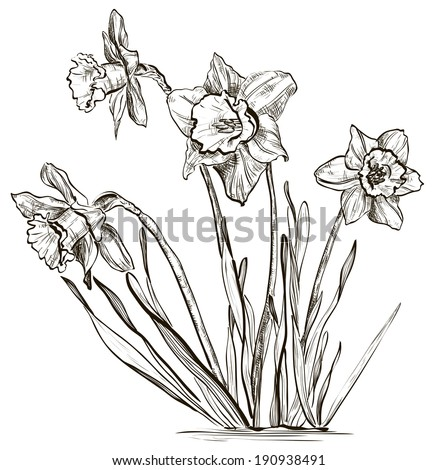 Daffodil flower or narcissus flower  - stock vector