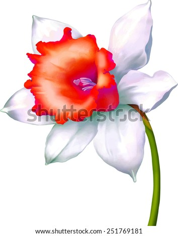 Daffodil flower or narcissus vector isolated on white background - stock vector
