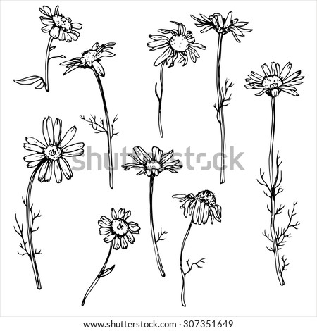 daisy flowers, floral vector set of ink drawing wild plants, monochrome black line drawing elements - stock vector