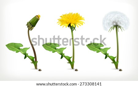 Dandelion flowers, vector icon set - stock vector
