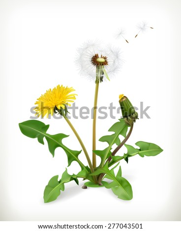 Dandelion summer flowers, vector illustration isolated on white background - stock vector