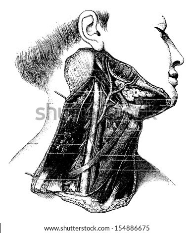 Deep Lateral Region of the Human Neck, vintage engraved illustration. Usual Medicine Dictionary by Dr Labarthe - 1885 - stock vector