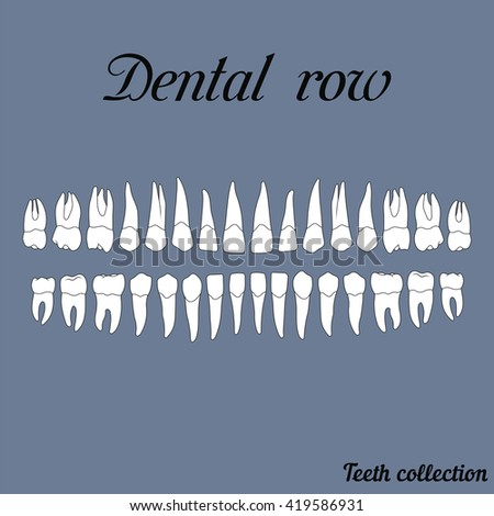dental row teeth - incisor, canine, premolar, molar upper and lower jaw. Vector illustration for print or design of the dental clinic - stock vector