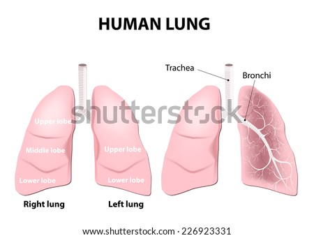 Detailed diagram of the human lungs. - stock vector