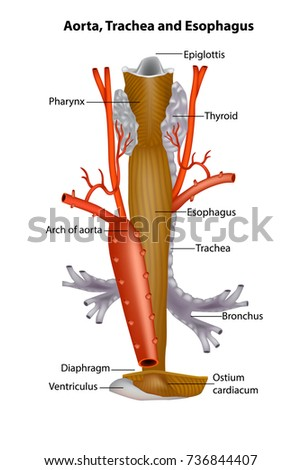 Diagram Illustrating Anatomic Relationships Between Aorta Stock