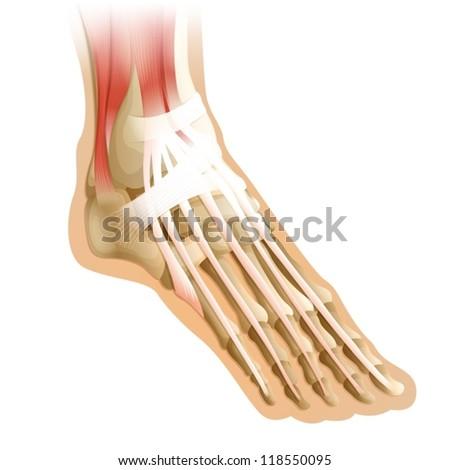 Human Foot Skeleton Diagram Diagram of a human foot with