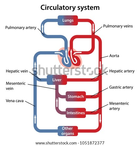 Diagram Human Circulatory System Main Parts Stock Vector 1051872377 ...