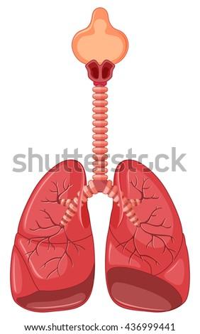 Diagram Human Lung Illustration Stock Vector 436999441 Shutterstock