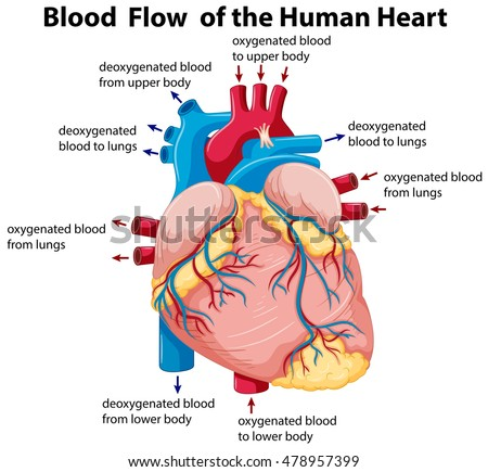diagram of the human heart stock images, royalty-free images, Human Body
