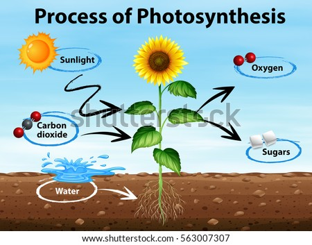 photosynethesis cycle diagram Photosynthesis explained with a diagram biologywise, the diagram given in this biologywise article is a small pictorial elaboration of the process of photosynthesis that will prove helpful for kids and teenagers to understand this vital.