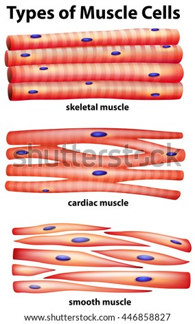 Diagram showing types muscle cells illustration stock vector diagram showing types of muscle cells illustration ccuart Image collections