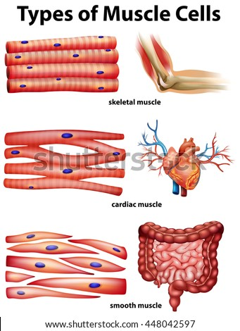 Anatomy Of Muscle Cell Diagram - Wiring Circuit •