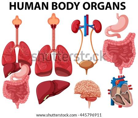 Different Type Human Body Organs Illustration Stock Vector 445796911