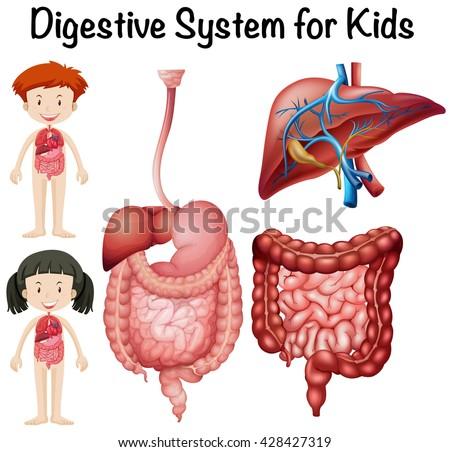 Digestive system for kids illustration - stock vector