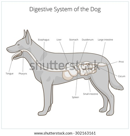 animal digestion system essay The anatomy and function of the parts of the digestive system (esophagus,  the  dog's stomach is a sac-like structure designed to store large volumes of food.
