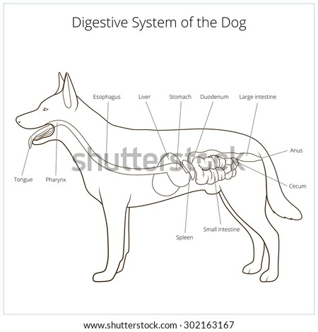 Dog digestive and respiratory system diagram simple electronic digestive system dog vector illustration stock vector 302163167 rh shutterstock com respiratory system diagram to label upper respiratory system ccuart Choice Image