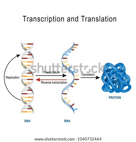 Dna Replication Protein Synthesis Transcription Translation Stock