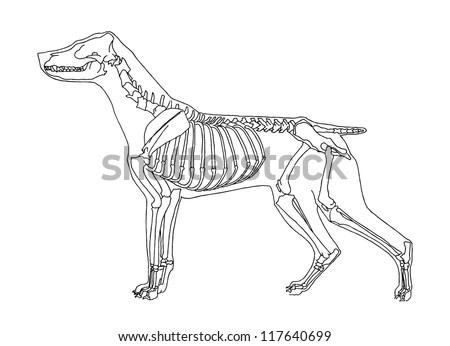 dog skeleton stock images  royalty
