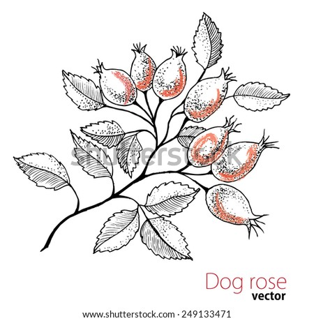 Dogrose drawing. - stock vector