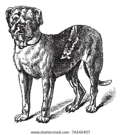 Dogue or Dogue de Bordeaux or Bordeaux Mastiff or French Mastiff or Bordeauxdog or Canis lupus familiaris, vintage engraving. Old engraved illustration of Dogue. Trousset encyclopedia. - stock vector