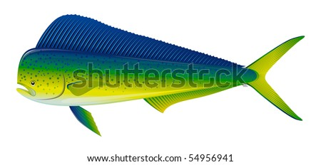 """Dorado saltwater fish (Coryphaena hippurus) isolated on white. """"Full compatible. Created with gradients."""" - stock vector"""