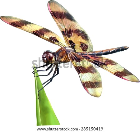 Dragonfly with yellow and brown wings sitting on a grass isolated on white background. Vector