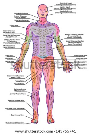 drawing, medical, didactic board of anatomy of human pattern of peripheral sensory innervation system, the diagram shows of the area affected by a radicular nerve lesion, after Mumenthaler - stock vector
