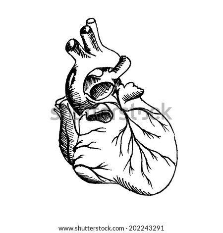 Drawing of the human heart. Vector illustration. - stock vector