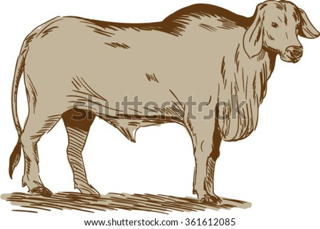 Drawing sketch style illustration of a brahman bull looking front viewed from the side set on isolated white background.  - stock vector