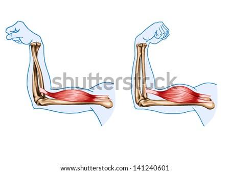 Drawing Vector Medical Didactic Board Anatomy Stock Vector HD ...