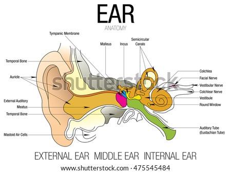 Ear anatomy parts name stock vector hd royalty free 475545484 ear anatomy with parts name ccuart Images