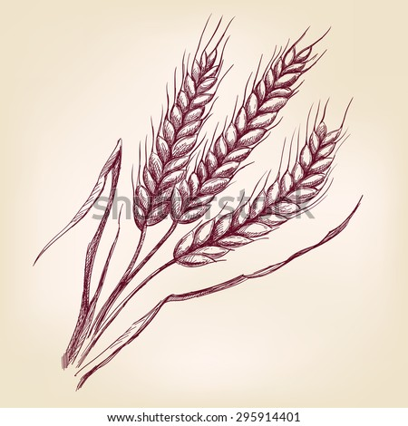 Ears of wheat hand drawn vector illustration realistic sketch