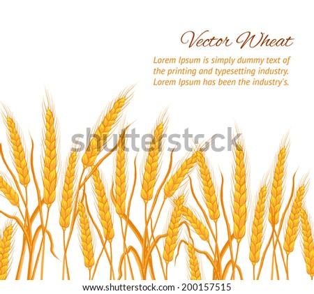 Ears of wheat on white background. Vector illustration. - stock vector