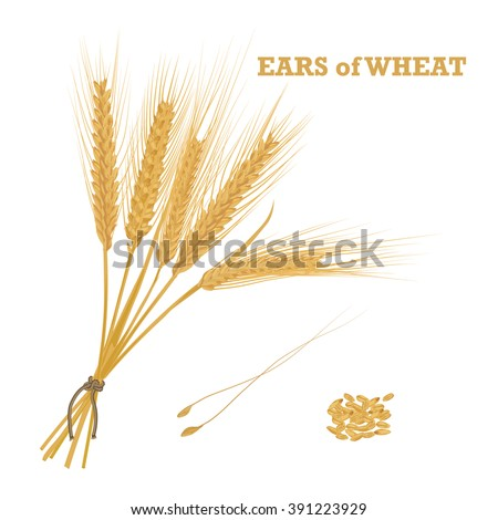 Ears of wheat tied with twine and a handful of grain Vector illustration.