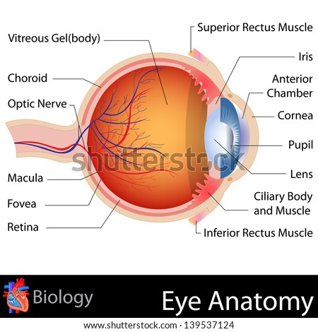 Human Eye Model Labeled Muscles T Eye Structure