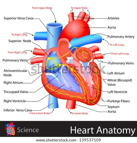 easy to edit vector illustration of anatomy of heart - stock vector