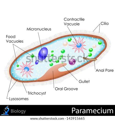 easy to edit vector illustration of diagram of paramecium - stock vector